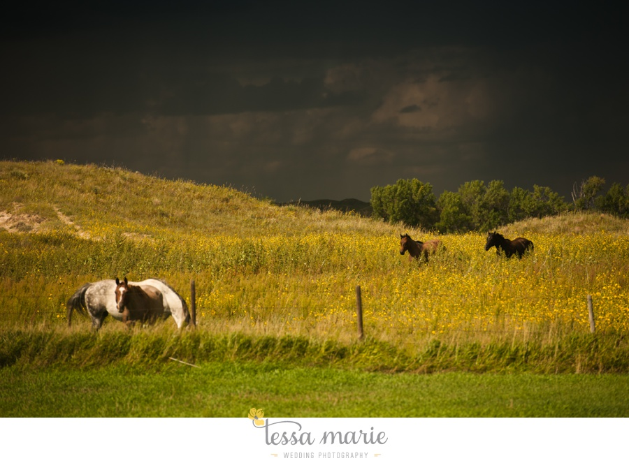 western_nebraska_storm_horses_brood_mares_wild_sunflowers_0001