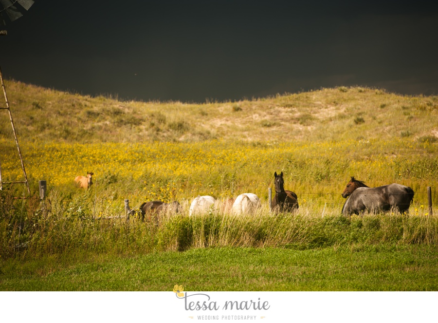 western_nebraska_storm_horses_brood_mares_wild_sunflowers_0002