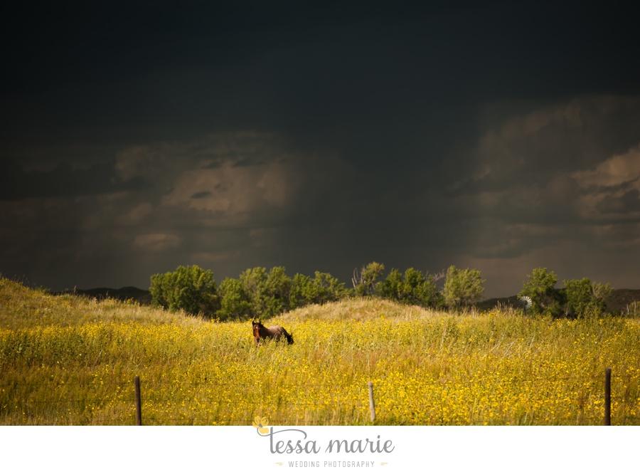 western_nebraska_storm_horses_brood_mares_wild_sunflowers_0005